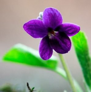 The viola odorata or sweet violet