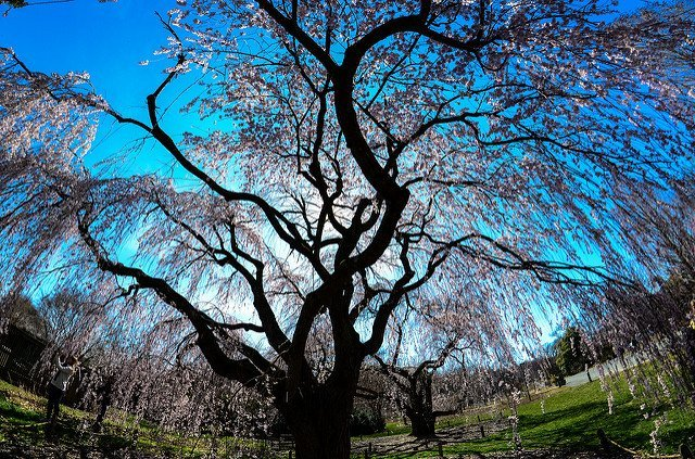 An Aged Cherry Tree at the National Arboretum