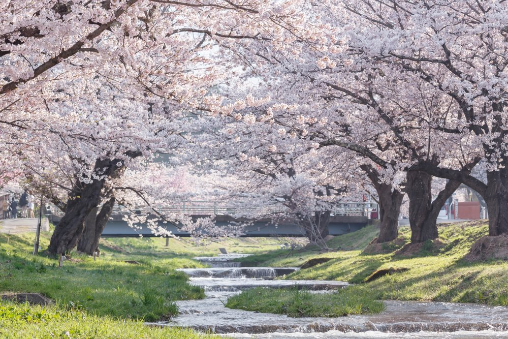 Meandering Brook Yoshino Cherry Trees