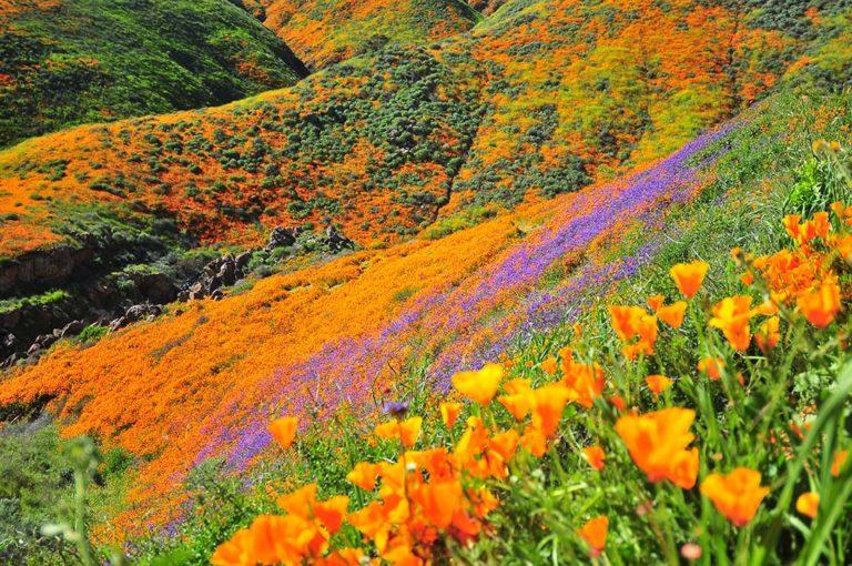 Vibrant California Poppy Hillside