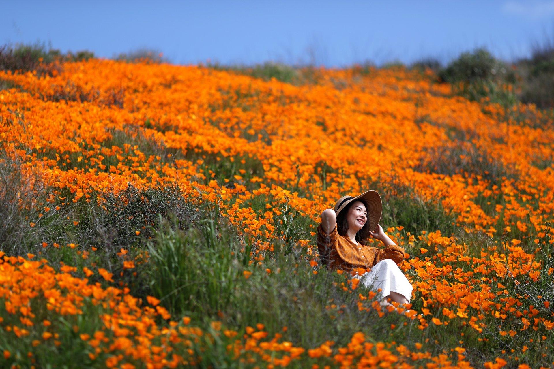 California Orange Poppy Field