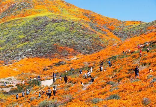Visitors Enjoying Bursting California Poppies