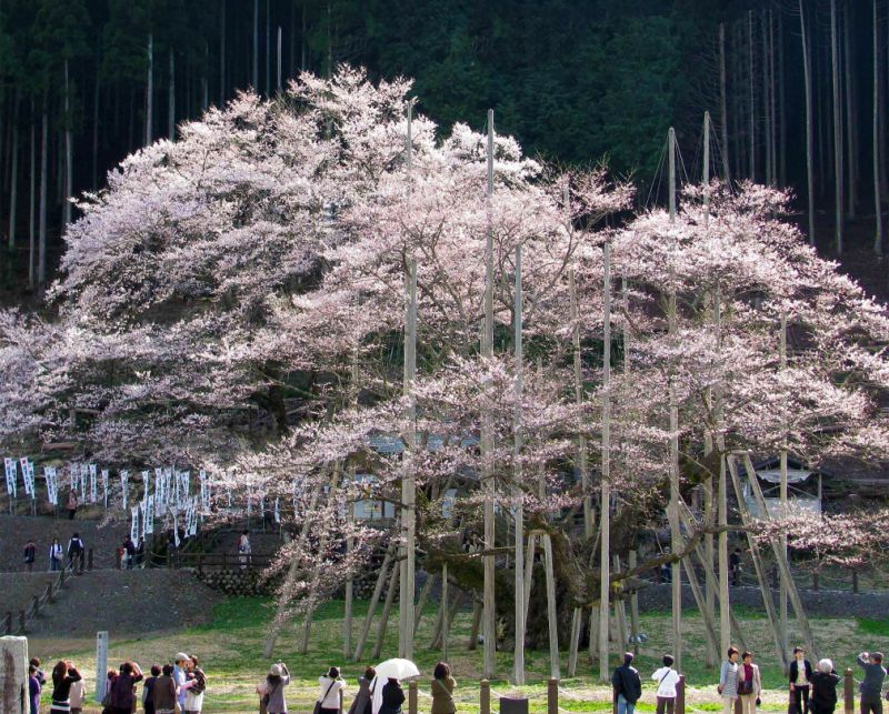 A revered cherry tree in Japan