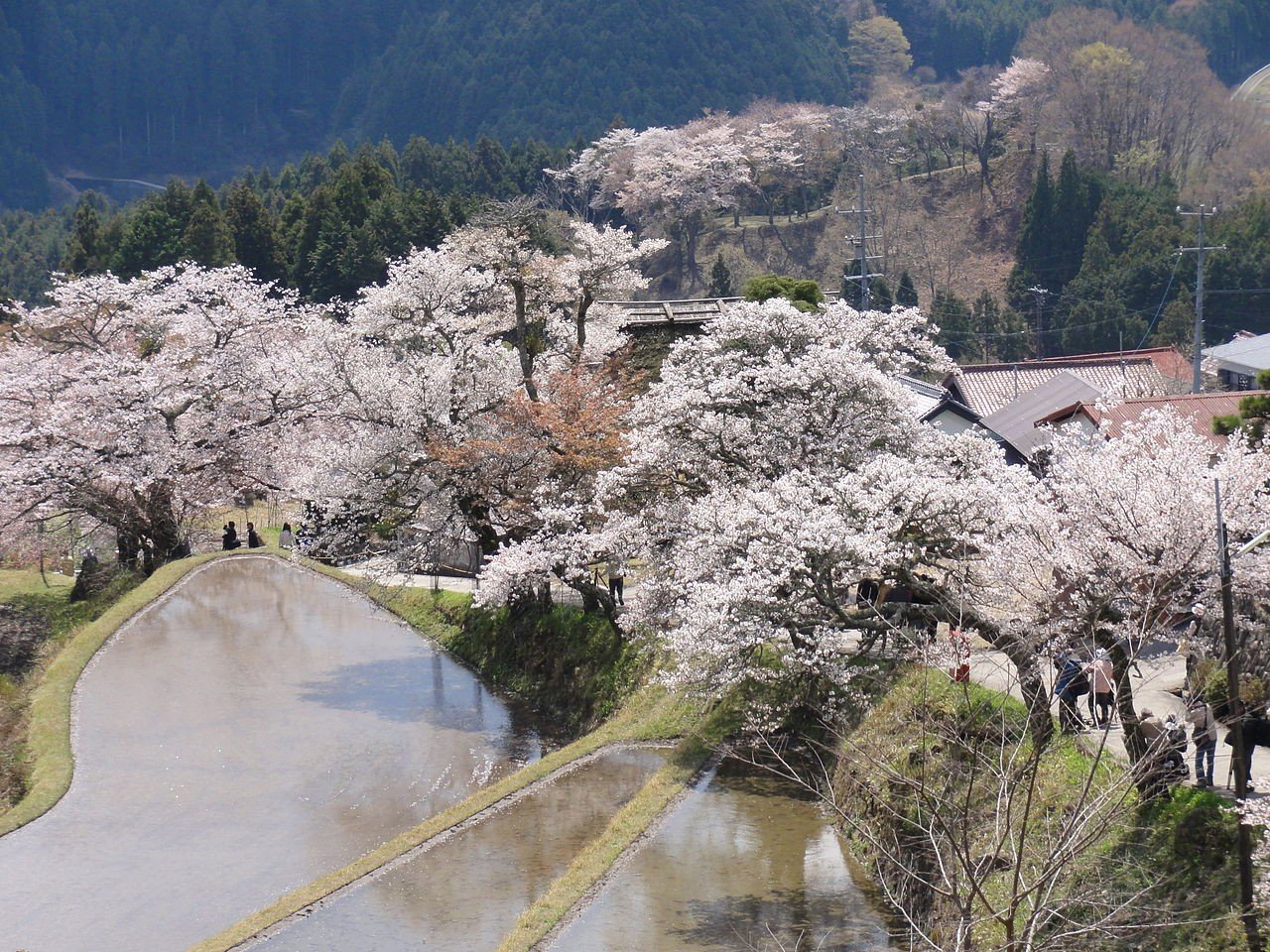 Cherry Blossoms on Mount Mitake
