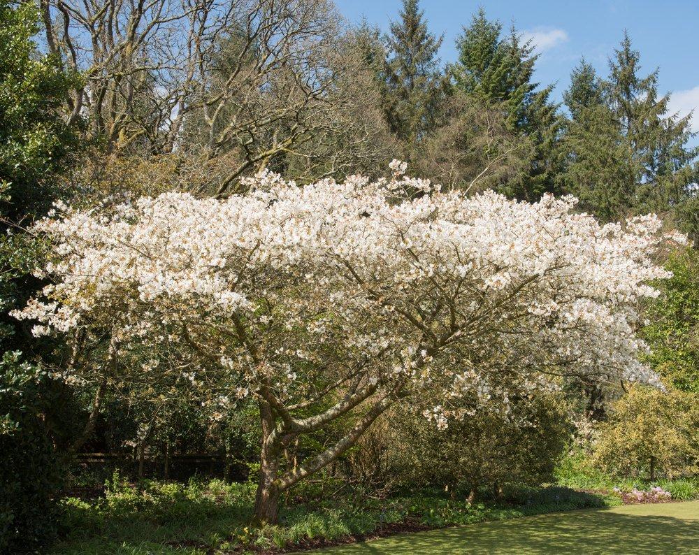 Prunus Jo-Niol