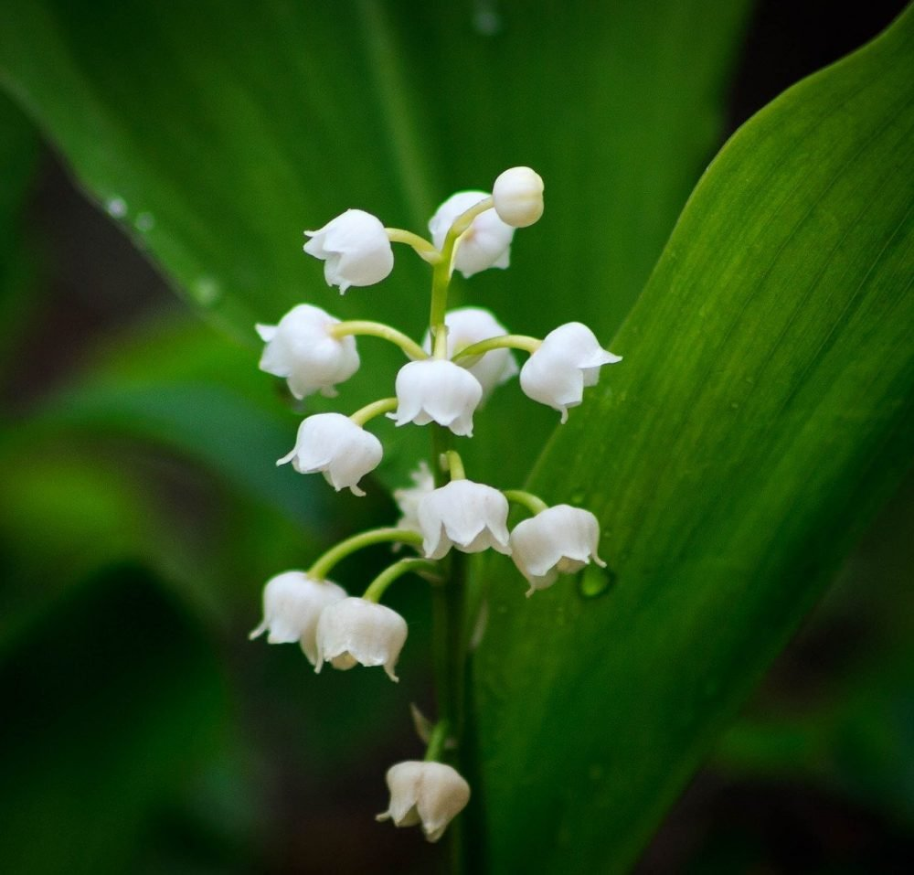 Sweet Pure Lily of the Valley