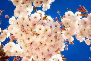 The late-blooming Mt. Fiji cherry tree