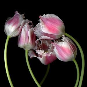 Magda Indigo White Pink Tulips