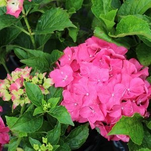 Forever-and-Ever red sensation hydrangea