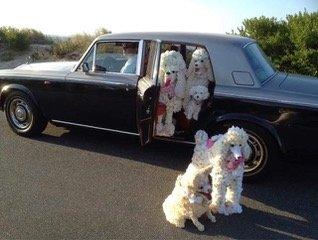Floral Fancy Poodles