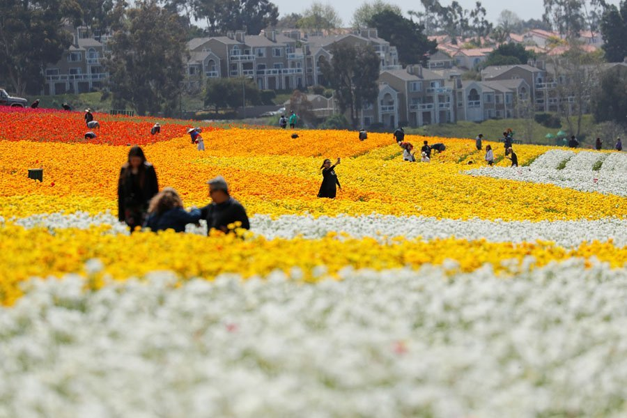 Field Of Flower Carlsbad California