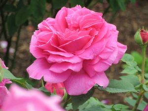 The Madame Isaac Pereire Bourbon Rose
