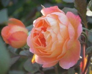 Lady Emmy Hamilton Roses