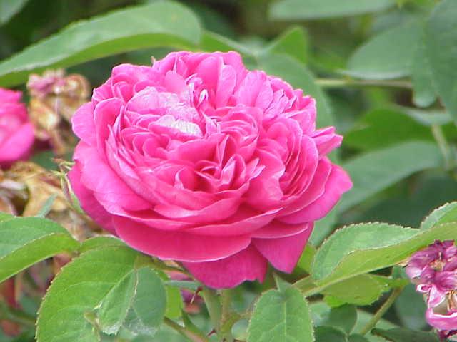 Rosa Damascena Flower