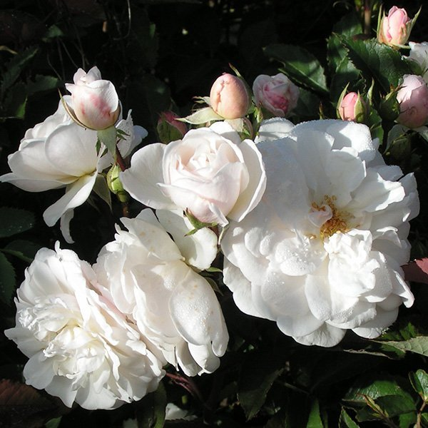 The Marie Pavie Rose Bush
