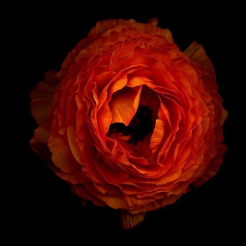 Magda Indigo Orange Ranunculus