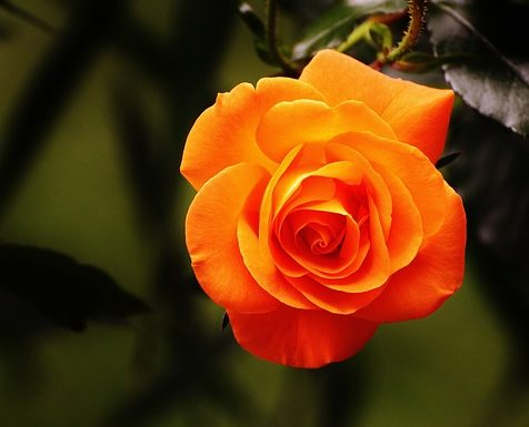 A Perfect Orange Rose