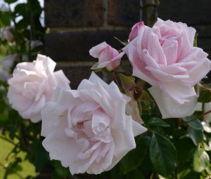 The New Dawn Climbing Rose