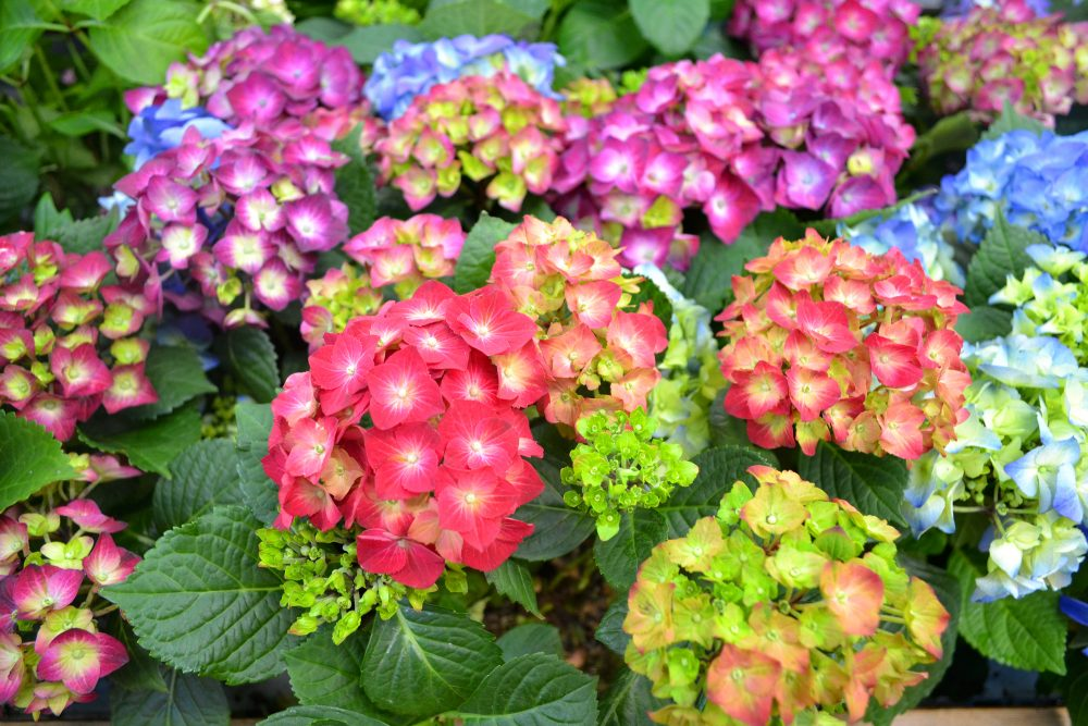 Beautiful colorful hydrangeas