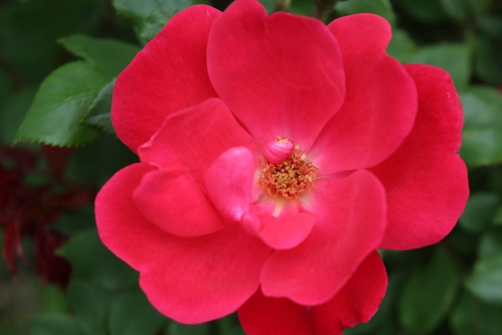 The Knock Out Rose