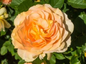 The Honey Perfume Floribunda Rose