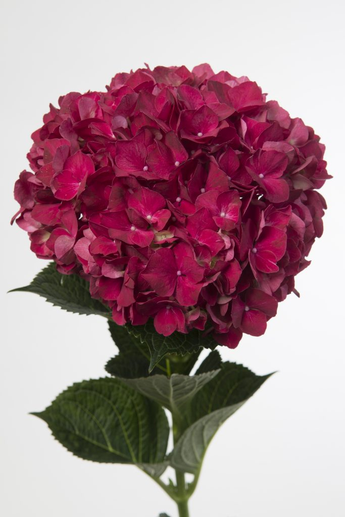 A ruby red hydrangea