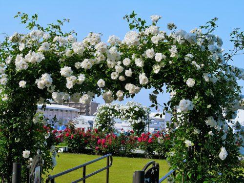 Verny Park France White Roses