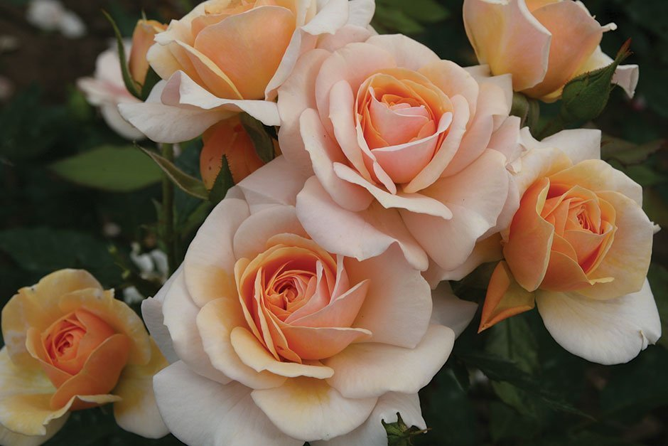 Peach color roses