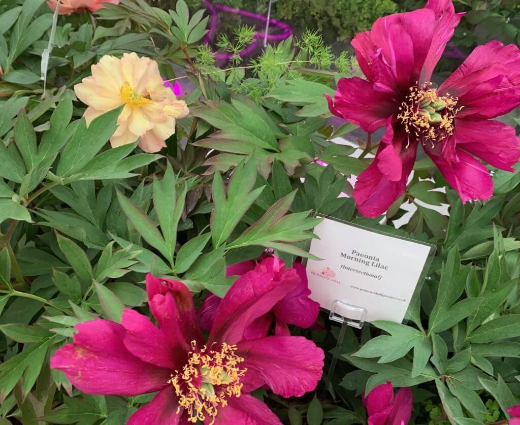 Primrose Hall Peonies Morning Lilac at RHS