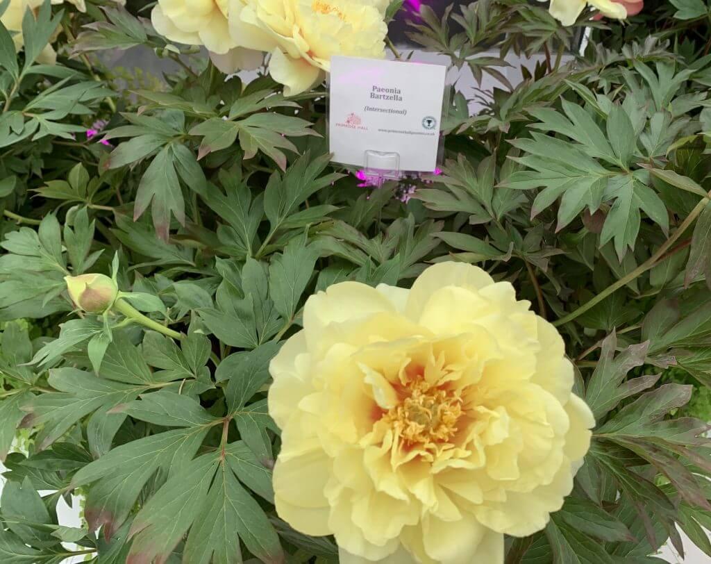 Primrose Yellow Peony at RHS