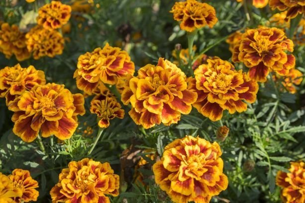 Yellow Orange French Marigolds