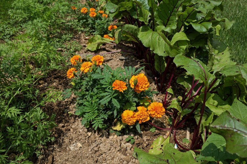 Marigolds planted between carrots and beets