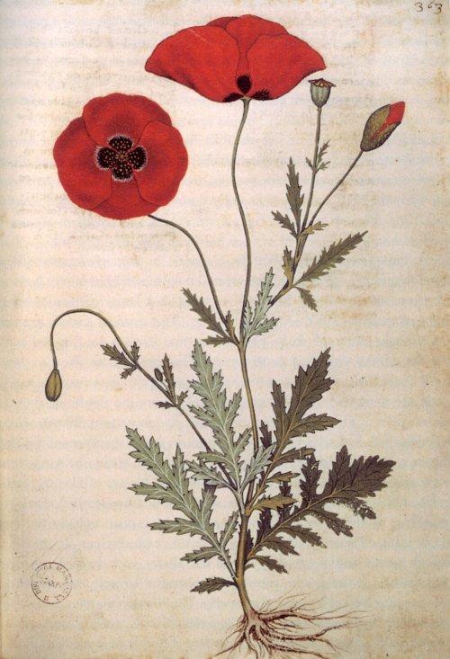Poppy illustration 1445 Andrea Amadio