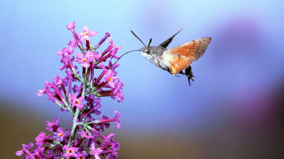 A Hummingbird Hawkmoth Pollinator