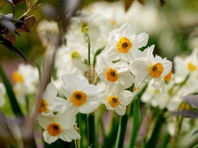 Narcissus Geranium