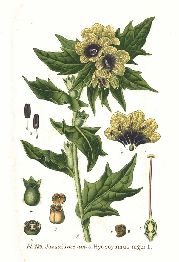 Hyoscyamus Niger Black henbane