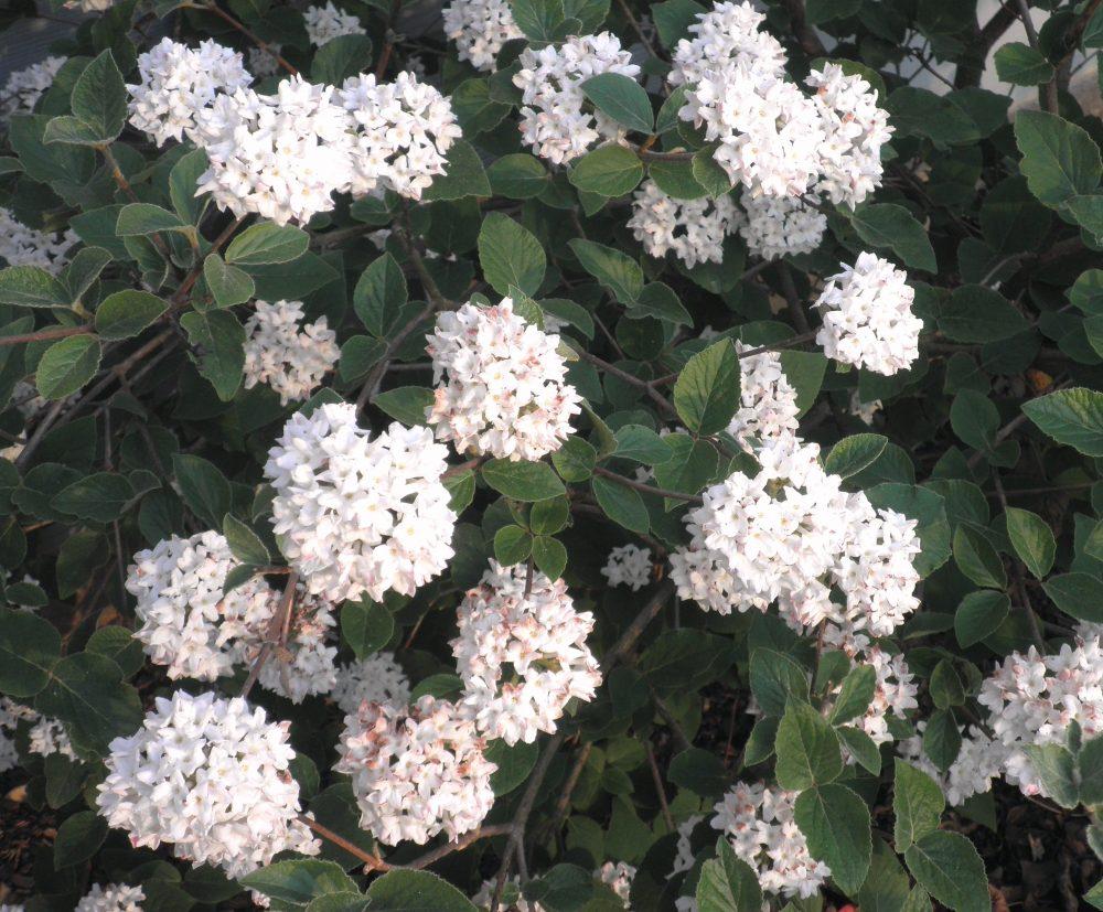 A Creamy Clove-Like Smelling Viburnum