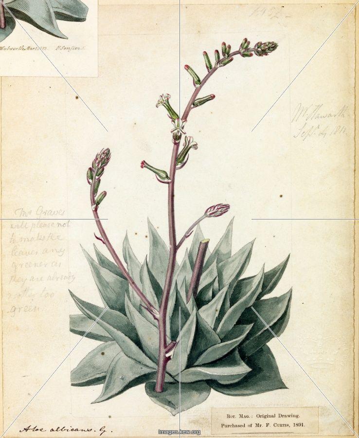 Aloe And Its Medicinal Qualities