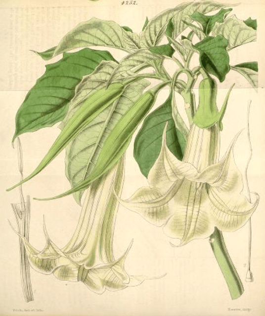 White flowered angel's trumpet Walter Hood Fitch