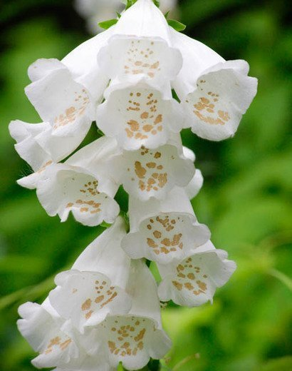 White Flowering Foxglove Plants