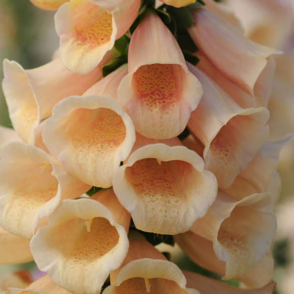 Ball Horticultural Company Peach Foxgloves