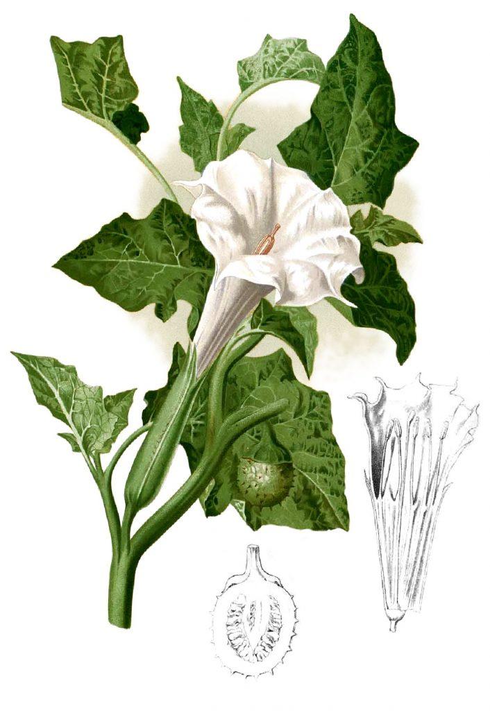 Datura metel the Solanaceae Family