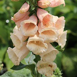 Pink Foglove Flowering Plant