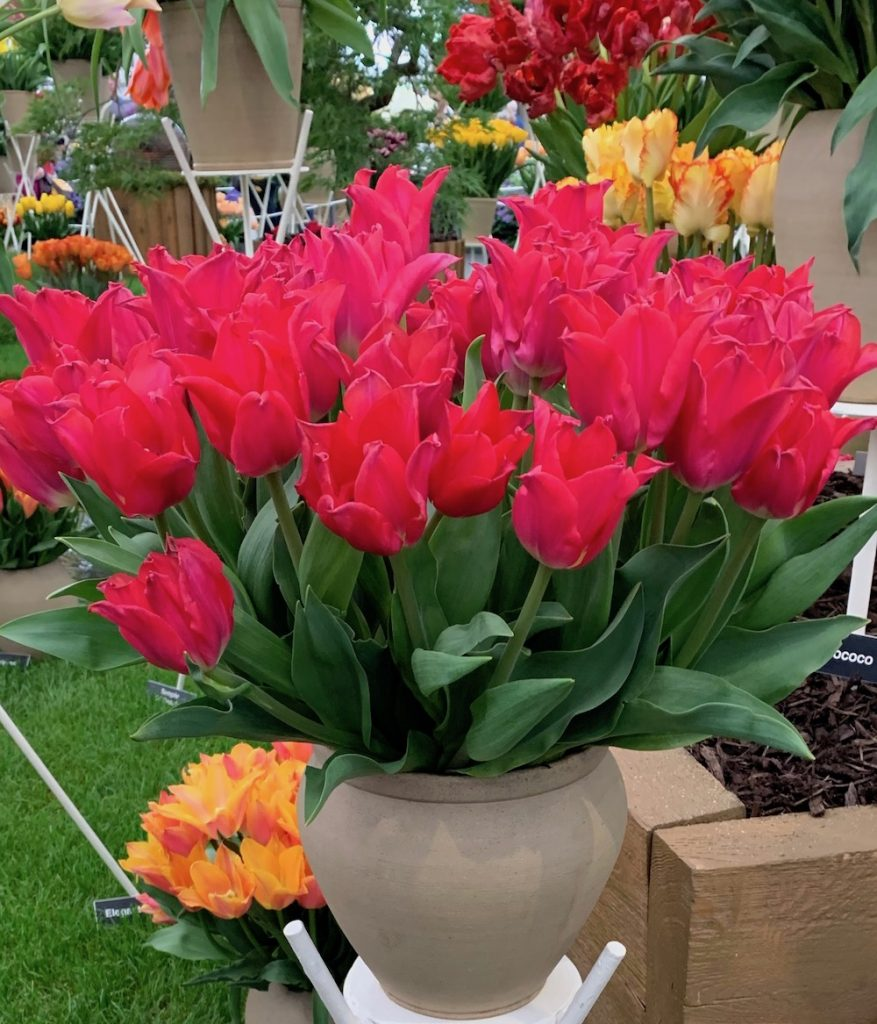 A Pot Of Vibrant Red Tulips