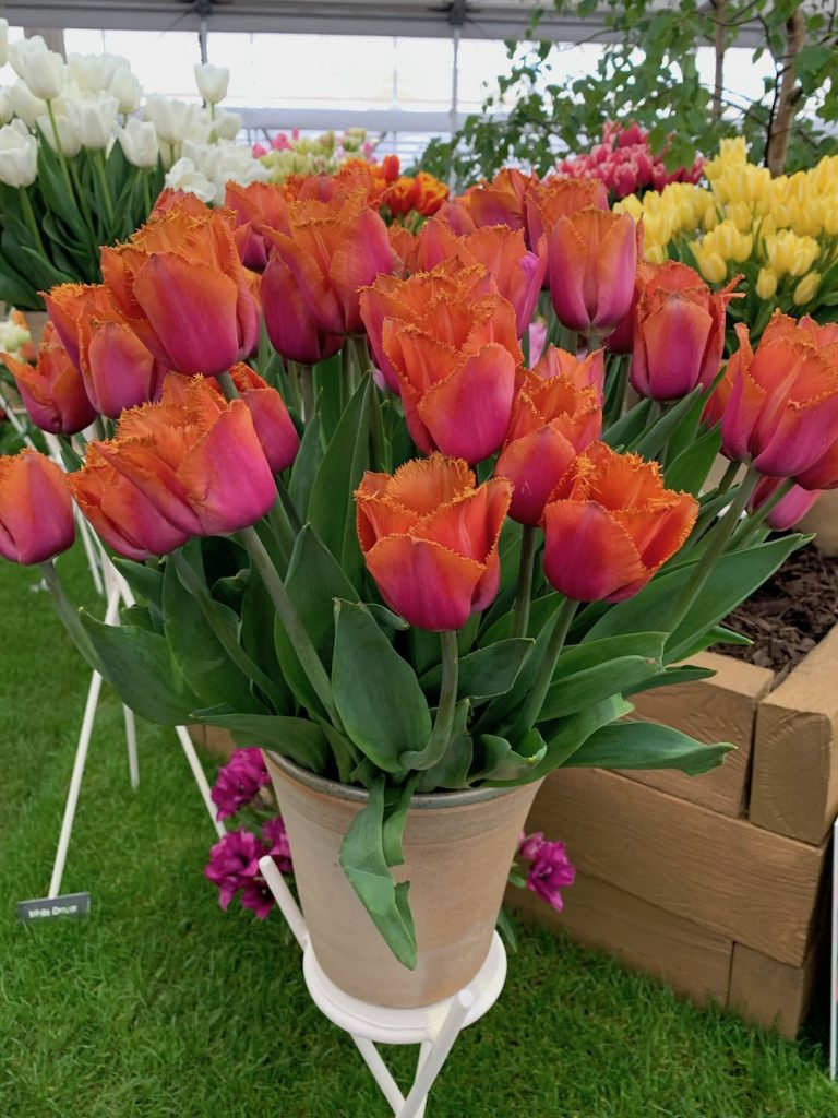 Beautiful Pink And Orange Tulips