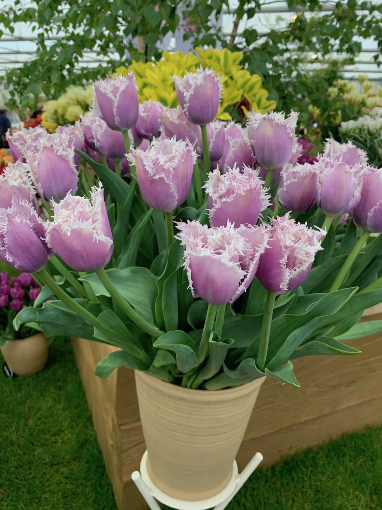 Purple Variegated Tulips