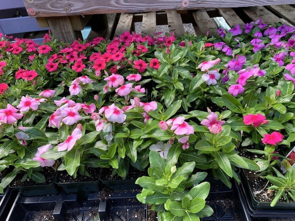 Strong And Sturdy Vinca