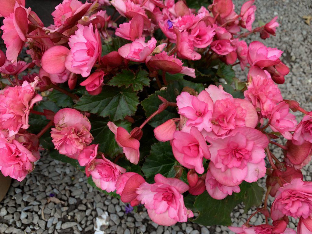 Indoor And Outdoor Begonias