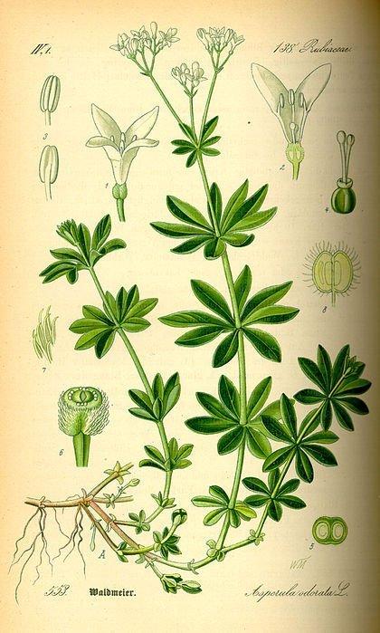 Rubiaceae Is Loaded With Alkaloids