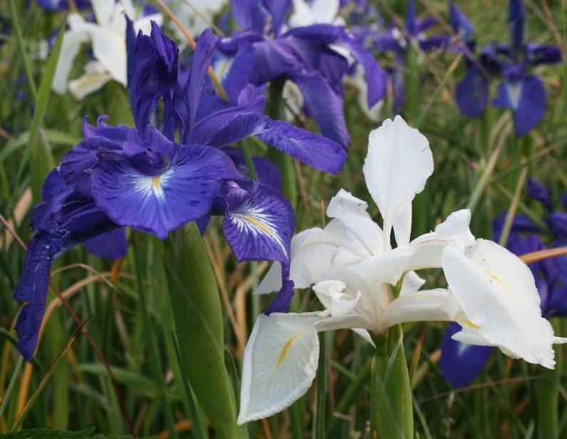 How To Grow An English Iris